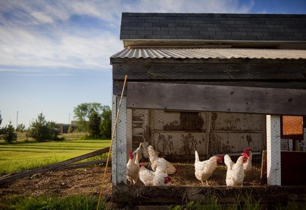 poules poulailler porte automatique